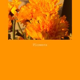 flowers asteraceae chrysanthemum