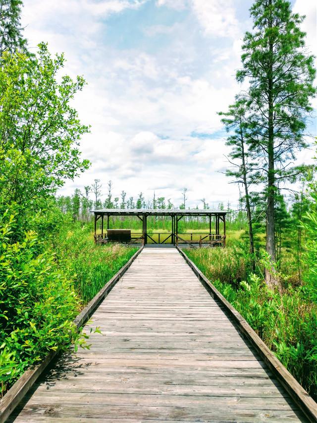 Okefenokee Swamp - #freetoedit #nature #woods #forest #adventure #photography #outdoors #naturelover #boardwalk #myphoto #myedit #green #swamp #okefenokee #okefenokeeswamp