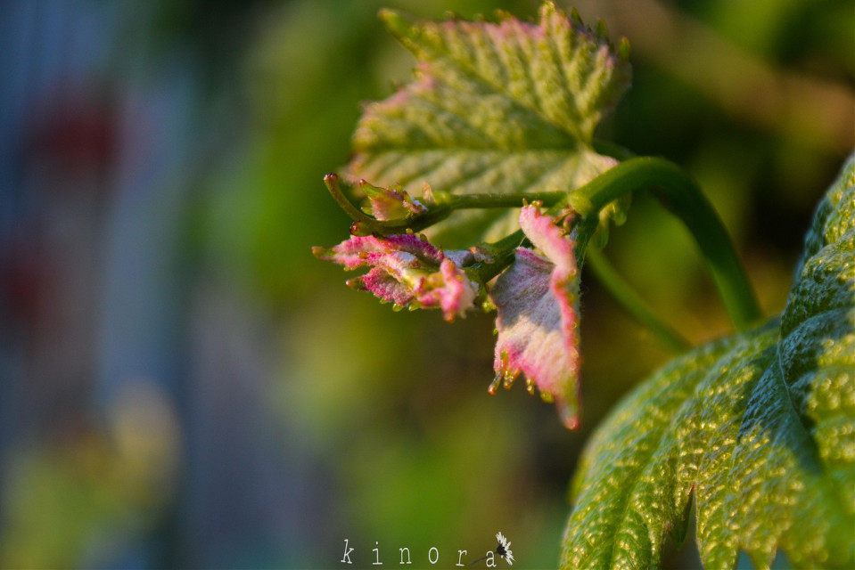 #freetoedit #kinora #closeup #close #closeupshot #leaves #grape #green #nature #loveit #mygarden #myclick #spring #myphoto