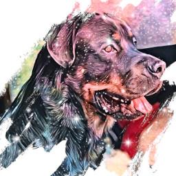 freetoedit dog furbaby rotweiler rotweiller