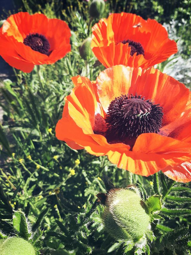 #freetoedit#myphoto#nature#photography#mrlb2000#poppyflowers#beautiful#flower#wow# @pa @freetoedit @picsartchina