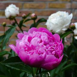 freetoedit peony peonyflower myclick kinora