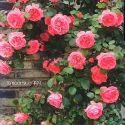 freetoedit photography rose mygarden