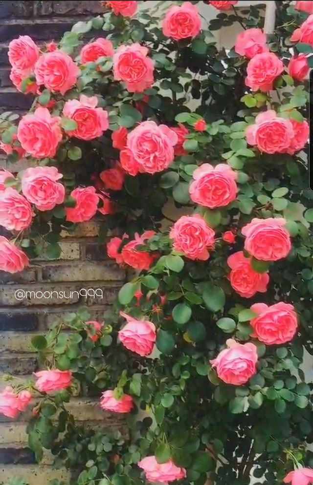 #freetoedit #photography #rose #mygarden