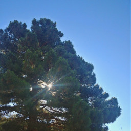 sun tree myhome goodmorning evergreen