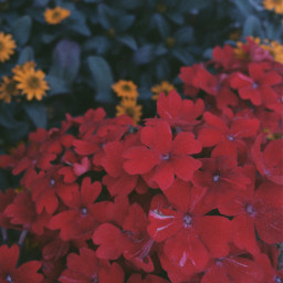spring beautiful flower flowers red