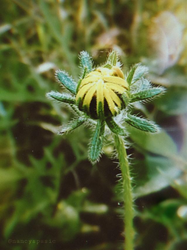 Almost open.   #nature #photography #sunflowerbud #bud #interesting  #freetoedit