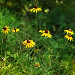nature photography sunflowers wildflowers yellow freetoedit