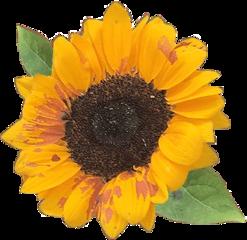 freetoedit sunflower flower sun aesthetic