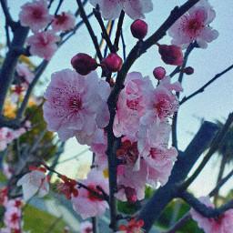 cherryblossom blossomflowers flowers