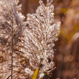 nature wildplants plumes bluredbackground depthoffield freetoedit