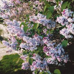 flowerbush flower flowers nature naturaleza freetoedit
