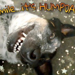 humpday dogs cattledog cute smile