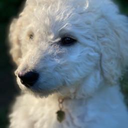 goldendoodle dog blureffect interesting summer