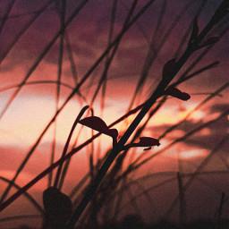 freetoedit silhoutte flora plants nature