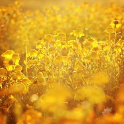 nature flowers wildflowers yellowflowers warmsunnylight freetoedit