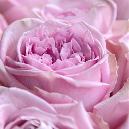 freetoedit stayinspired flower roses rosa