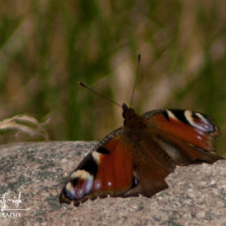 freetoedit photography butterfly insect nature