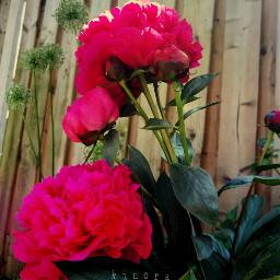 kinora freetoedit peony peonyflower pink