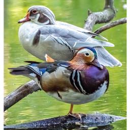 birds ducks woodduck nature buddies freetoedit