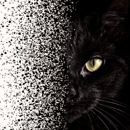 unsplash freetoedit cat black blackcat