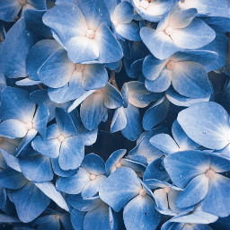 nature flowers closeupflower hydrangea naturesbeauty freetoedit