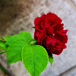 freetoedit rose redrose rosesarered naturalbeauty