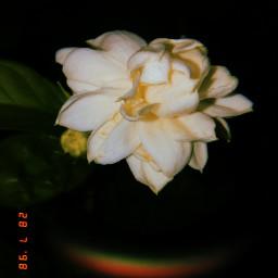 flower white huji huphoto