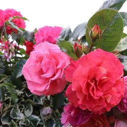 flower closeup rose mygarden freetoedit