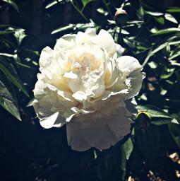 flower myphoto carnation nature naturaleza freetoedit