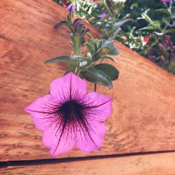 flowerbox flower patio backyard summer freetoedit
