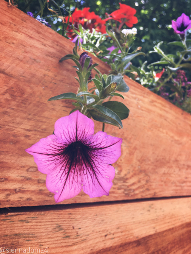 Flowers on the patio :) 🌸  Tags: @nqstiyq @xxjxst_leaxx @thats_mali / @just_mali_ @dilara_2210 / @the_lil_honey @artist_noor @gweni_120208 @jennaulin @ruyacenik_02 @rachelvbsb88 @aggie2_0  My second account: @just_sienna  Hope you enjoy your day/night! :D 🪐💫✨  #flowerbox #flower #patio #backyard #summer #june #minnesota #nature  ✌🏻🦋💗 👊🏻👊🏼👊🏽👊🏾👊🏿  #freetoedit