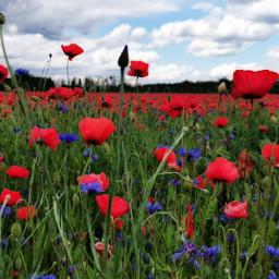 freetoedit myphoto photography mrlb2000 poppyflower