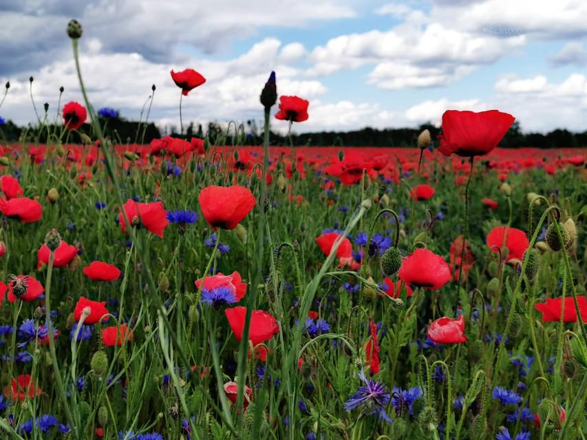 #freetoedit#myphoto#photography#mrlb2000#poppyflower#flower#beautiful#wow#photo @pa @freetoedit ❤