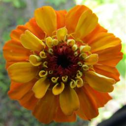 freetoedit flower zinnia orange orangeflower