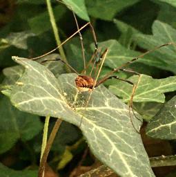 spider daddylonglegs macrophotography naturephotography myphotography