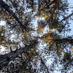 nature trees talltrees pinetrees blueskybackground freetoedit
