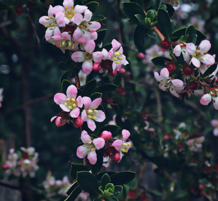 Just liked these blossoms #nature #flower #closeup #blossoms  #freetoedit