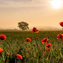 photography morning landscape poppies sky freetoedit