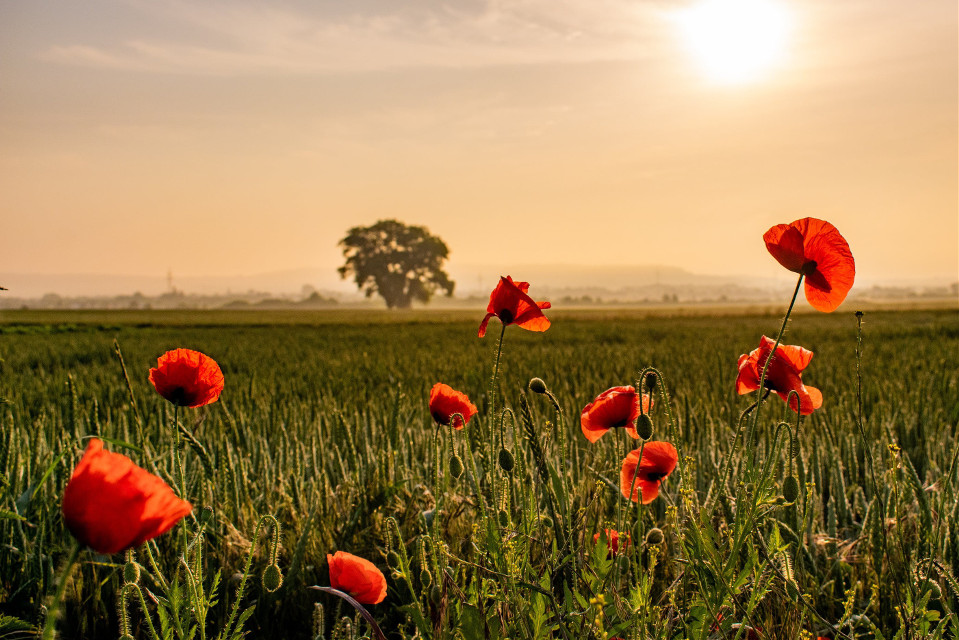 #photography #morning #landscape #poppies #sky #mood #mypic #myphoto  #freetoedit