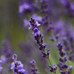 lavender flower field perfume nature