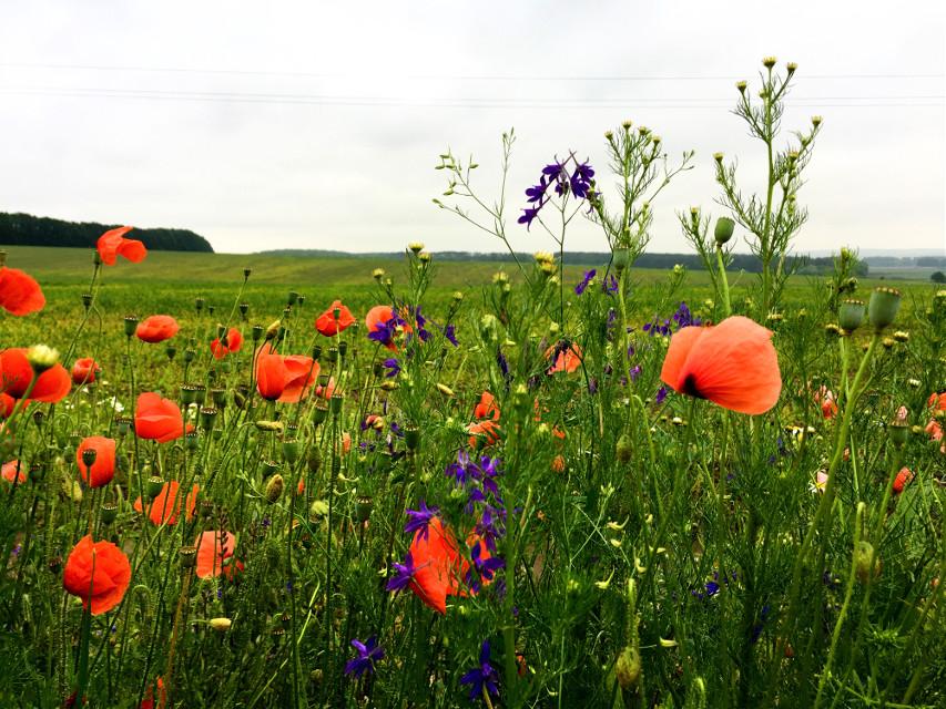 #photography #nature #summer #field #flowers #ukraine #freetoedit