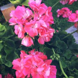 flowers photography flower june minnesota freetoedit