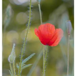 poppy mohnblume flower nature meadow freetoedit