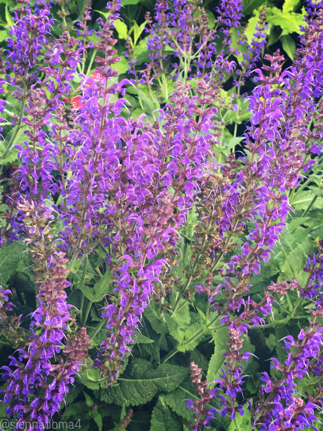 Here are some pretty purple plants I found! There were tons of bumblebees there, too :) Also I would like to thank all you amazing people out there for 90 followers! When I joined PicsArt, I never would have thought I would get this far! 💗💗💗  Tags: @nqstiyq @xxjxst_leaxx @thats_mali / @just_mali_ @artist_noor @ruyacenik_02 @dilara_2210 / @the_lil_honey @gweni_120208 @jennaulin @avery29 @draw2liv @rachelvbsb88 @sienna_the_artist @aggie2_0 (Follow them 💗💗😄)  I hope everyone has a great day or night! 🌙💗🦋  #flower #flowers #plants #plant #nature #followthem #blacklivesmatter #blm #minnesota #naturaleza   🪐🤍✨ 👊🏻👊🏼👊🏽👊🏾👊🏿   #freetoedit