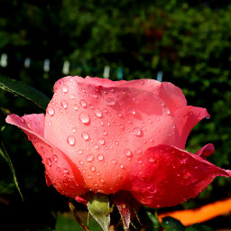 nature flower closeup rose mygarden freetoedit