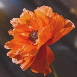 freetoedit orangetheme aesthetic orangeflower orange🧡