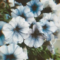 flowers flower minnesota nature naturaleza freetoedit