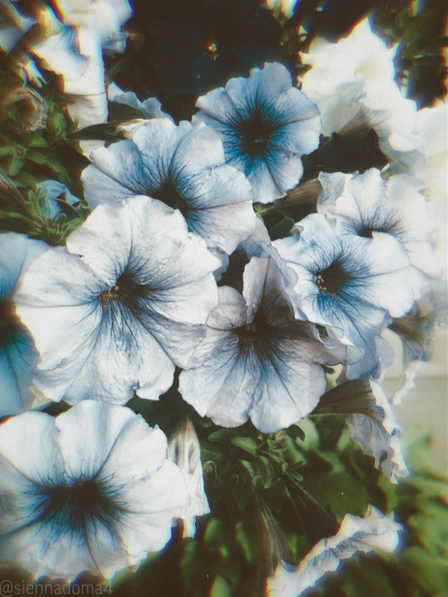 Front yard flowers!! I apologize for being a few hours late, I'll be earlier tomorrow :) 😄😄  Tags: @nqstiyq @xxjxst_leaxx @thats_mali / @just_mali_ @artist_noor @dilara_2210 / @the_lil_honey @draw2liv @avery29 @gweni_120208 @ruyacenik_02 @rachelvbsb88 @jennaulin @sienna_the_artist @aggie2_0  💗💗💗  Have a great day/night!!!  #flowers #flower #minnesota #nature #naturaleza #myphoto #photography  🪐🤍✨ 👊🏻👊🏼👊🏽👊🏾👊🏿   #freetoedit
