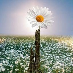 freetoedit daisyflower flowers meadow myedit